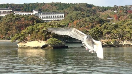 松島湾 海猫A-2