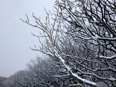 20140211-8 梅林雪景色