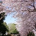 写真: 芹が谷公園入り口の桜並木