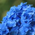 Blue Hydrangea flower of June.