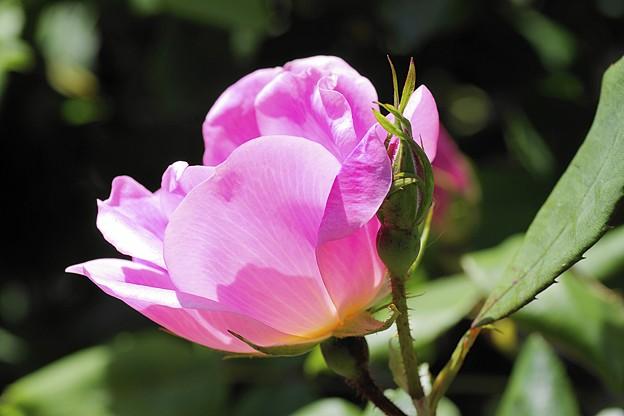 ピンクの薔薇 II