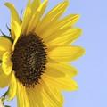 yellow sun IV