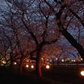 沼の辺の夜桜