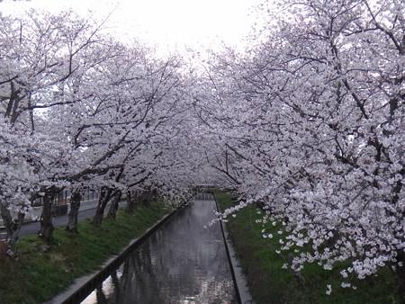 13 桜満開 (4)
