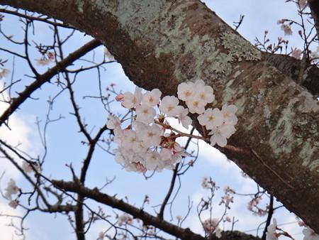 13 桜満開 (2)
