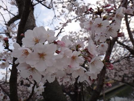 13 桜満開 (1)