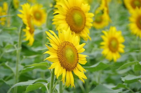夏向日葵 (1)