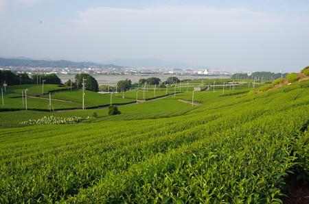 茶畑の緑が綺麗 (2)