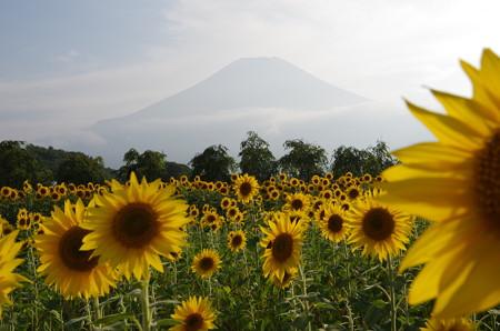 向日葵と富士山 (2)