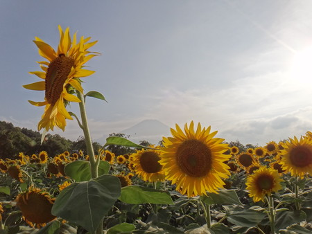 向日葵と富士山 (1)