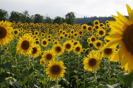 向日葵満開 (2)