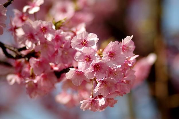 一本桜 #7