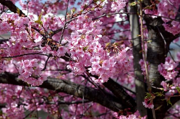 一本桜 #8