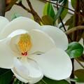 Photos: タイサンボクの花