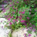 写真: 秋の草(かんむり)…と書いて、萩☆