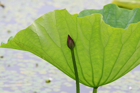 2012.08.11 越後 瓢湖 蓮 蕾と葉
