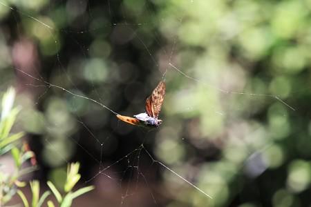 2012.08.23 大和 泉の森 蜘蛛の巣と蝉