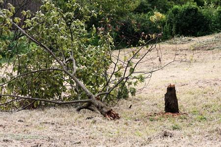2012.09.28 追分市民の森 栗の木