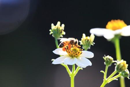 2012.10.19 和泉川 ウインターコスモスにミツバチ