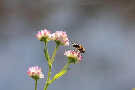 2012.10.21 和泉川 ミゾソバにミツバチ