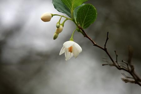 2012.10.25 和泉川 エゴノキに花