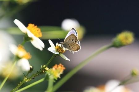 2012.10.26 和泉川 ウインターコスモスにヤマトシジミ
