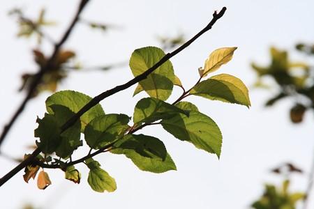 2012.10.30 和泉川 桜葉