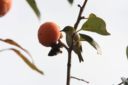 2012.11.12 和泉川 柿にメジロ