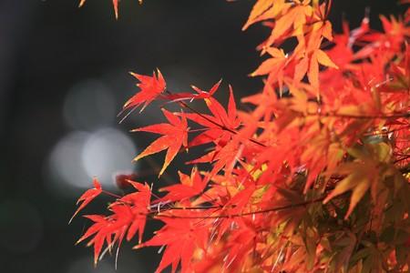 2012.12.02 和泉川 モミジ