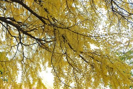 2012.12.06 上野公園 イチョウ