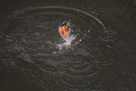 2013.02.09 和泉川 カワセミ 水中から空中へ