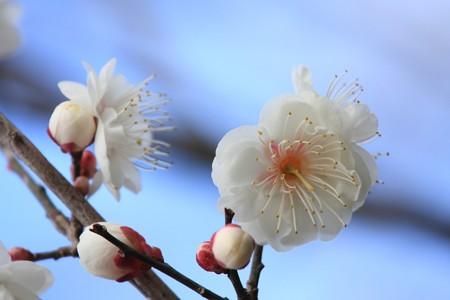2013.02.16 和泉川 ウメ