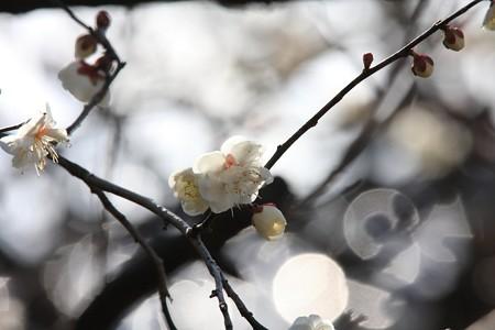 2013.02.20 和泉川 ウメ