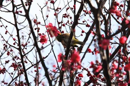2013.02.20 和泉川 ウメにメジロ