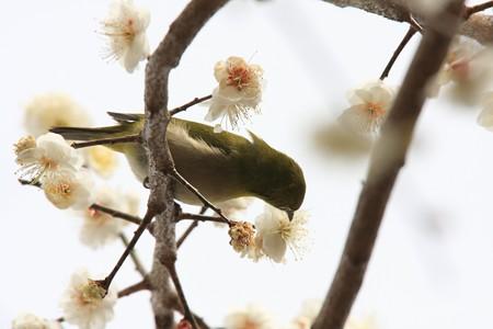 2013.03.01 和泉川 ウメにメジロ 花蜜