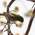 Photos: 2013.03.01 和泉川 ウメにメジロ 花蜜