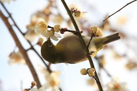 2013.03.04 和泉川 ウメにメジロ 淡い
