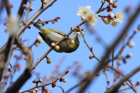 2013.03.04 和泉川 ウメにメジロ
