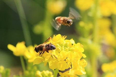 2013.03.07 和泉川 ナノハナにミツバチ
