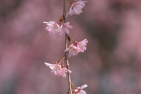 2013.03.20 和泉川 シダレザクラ