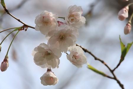 2013.04.01 和泉川 サクラ