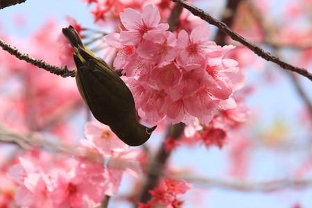 2013.04.01 和泉川 サクラにメジロ 花蜜