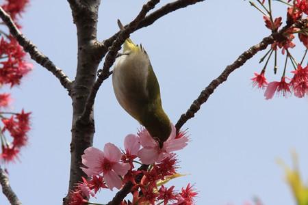 2013.04.01 和泉川 メジロ 花蜜