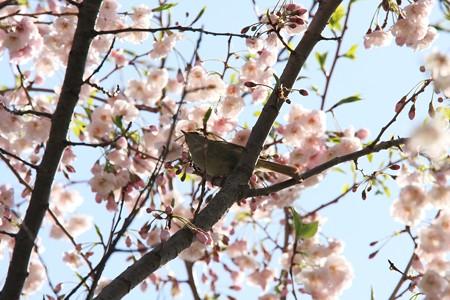 2013.04.04 和泉川 サクラにウグイス
