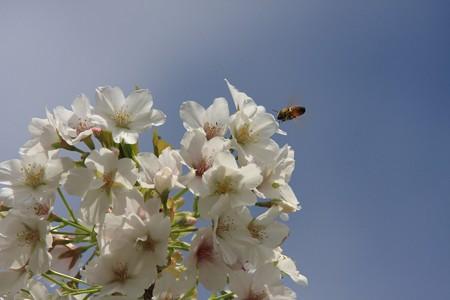 2013.04.04 和泉川 ソメイヨシノとミツバチ