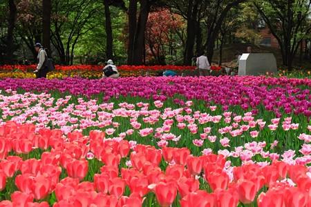 2013.04.09 横浜公園 チューリップ 鮮やか