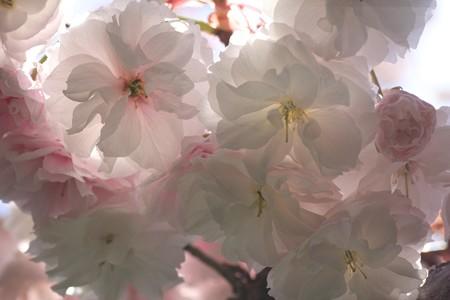 2013.04.13 和泉川 ヤエザクラ 淡い