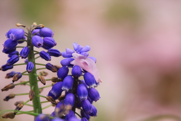 Photos: 2013.04.17 和泉川 ムスカリにヤエザクラ 花弁