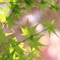 Photos: 2013.04.18 和泉川 モミジの上にヤエザクラ