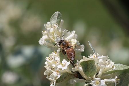 2013.04.22 和泉川 アキグミにミツバチ